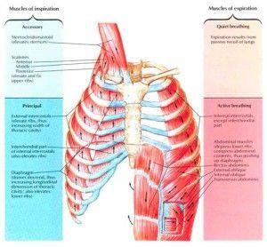 musculatura-respiración